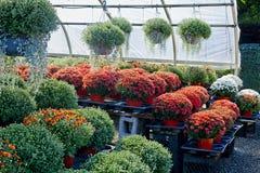 Herbstzusammensetzung mit Chrysanthemen Stockfoto