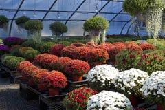Herbstzusammensetzung mit Chrysanthemen Lizenzfreies Stockbild