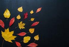 Herbstzusammensetzung mit Farbe lässt Verzierung auf hinterem Schieferbrett mit Kopienraum heller Ahornlaubjahreszeit-Herbsttext  Lizenzfreie Stockbilder