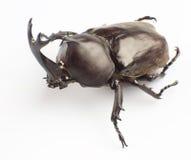 Hercules Beetle Stock Image