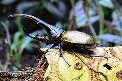 Hercules beetle aka rhino beetle world`s largest extant beetle. stock photo