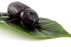 Hercules Beetle auf grünem Blatt lizenzfreies stockfoto