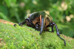 Hercules beetle Royalty Free Stock Photography