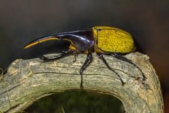 Hercules beetle Dynastes hercules on the snag stock photo