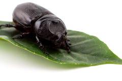 Hercules Beetle on green leaf royalty free stock photo