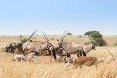 Herd& x28 сернобыка; Gazella& x29 сернобыка; Стоковые Изображения RF