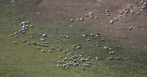 Herd. Bird's eye view of a herd of sheep and goats Stock Image