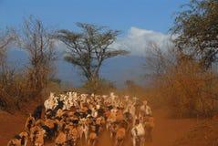 herd Stock Photos