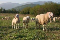 Herd Stock Images