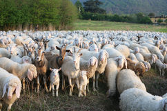 Herd. Of sheep and goats grazing in green field Royalty Free Stock Photos