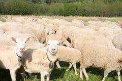 Herd Royalty Free Stock Photo