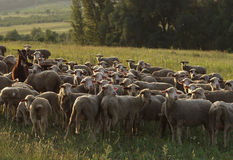 Herd. Of sheep royalty free stock image