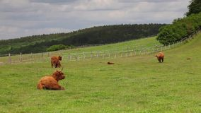 The herd of aberdeen angus stock video footage
