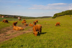 The herd of aberdeen angus on spring meadow Royalty Free Stock Photography