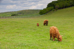 The herd of aberdeen angus on spring meadow Stock Photography
