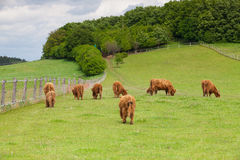 The herd of aberdeen angus on spring meadow Royalty Free Stock Photo