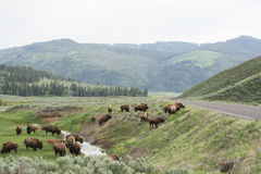 The Herd. Adult bison preparing to cross a road at Yellowstone National Park. I was able to get many pictures of bison while I was there. Most of the bison were Royalty Free Stock Photo