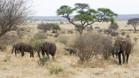 Herd adult and child elephants walking Stock Image