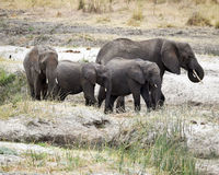 Herd adult and child elephants walking Royalty Free Stock Photography