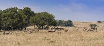 Herd of African antelope in grassland during winter royalty free stock photos