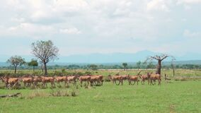 A herd of african antelopes and zebras walks the African savannah. A herd of eland antelopes and zebras move along the green grass of the African savannah with stock footage