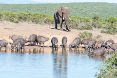 Herd of African Buffalo and an Elephant Stock Photos