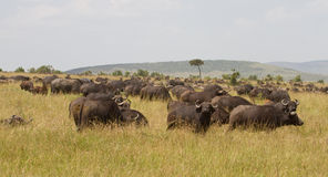Herd of african buffaloes Stock Photography