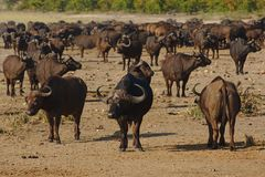 Herd of African buffaloes in Kruger national park, South Africa. stock photos