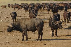 Herd of African buffaloes in Kruger national park, South Africa. stock image