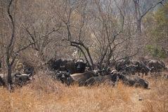 Herd of African buffalos Stock Images