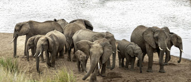 Herd of African Bush Elephants demonstrate defensive behavior Stock Images