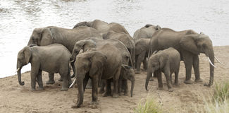 Herd of African Bush Elephants Royalty Free Stock Image