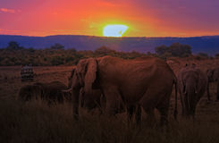 Herd of African Bush Elephants at sunset Royalty Free Stock Photography