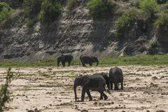 Herd of African Bush elephants Royalty Free Stock Photos