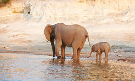Herd of African elephants Royalty Free Stock Image