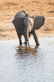 A herd of African elephants Royalty Free Stock Photo