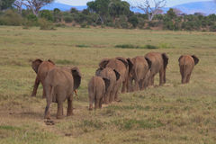 Herd of African Elephants. On the move Royalty Free Stock Photos