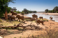 Herd of African elephants Royalty Free Stock Photography