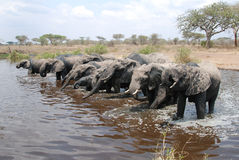 Herd of African Elephants. Bathing and drinking in a pool Stock Images
