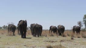 Herd of African elephants in african bush stock video