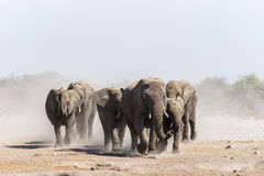 A herd of african elephants approaches a waterhole in Etosha national park royalty free stock photography