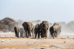 A herd of african elephants approaches a waterhole in Etosha national park stock photo