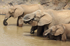 Herd of African Elephants drinking Stock Image