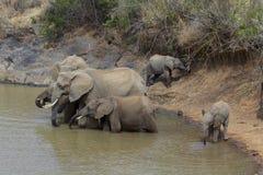 Herd of African Elephants drinking Stock Photos