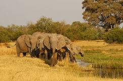 Herd of African Elephants Drinking Royalty Free Stock Photo
