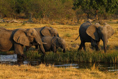 Herd of African Elephants Drinking Stock Photos