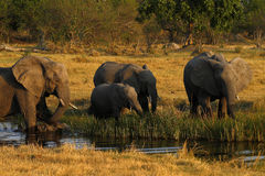 Herd of African Elephants Drinking Stock Photography