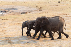 Herd of African elephants drinking at a muddy waterhole Royalty Free Stock Image
