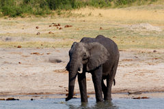 Herd of African elephants drinking at a muddy waterhole Royalty Free Stock Photography