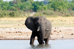Herd of African elephants drinking at a muddy waterhole Stock Photography